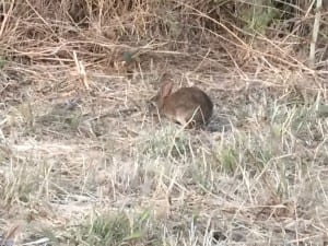 Baby rabbit near camp